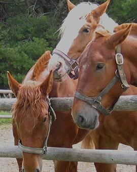 Elevage et reproduction des chevaux