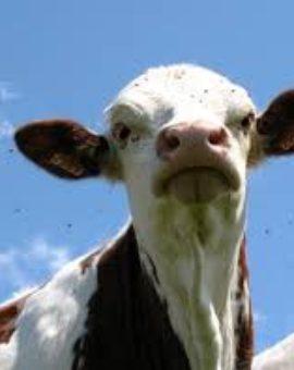antiparasitaires externes bovins